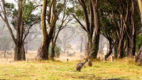 New South Wales - Barrington Tops