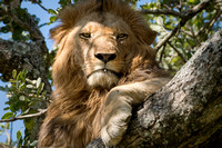 Male Lion in Sausage Tree